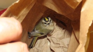 2014-09-30 Golden-crowned Kinglet