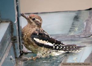 Cynthia Paquin_woodpecker_blog