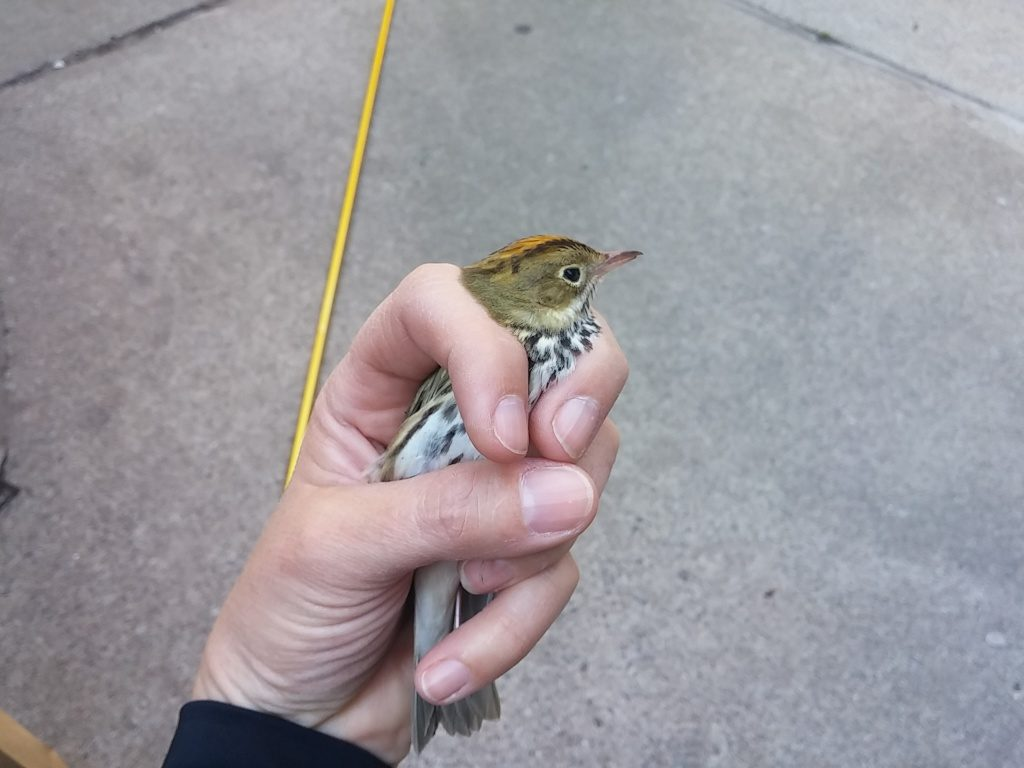 Ovenbird, May 10, 2016. Photo by Anouk Hoedeman.
