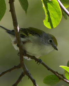 Chestnut-sided Warbler in fall. Photo by Andy Reago & Chrissy McClarren.