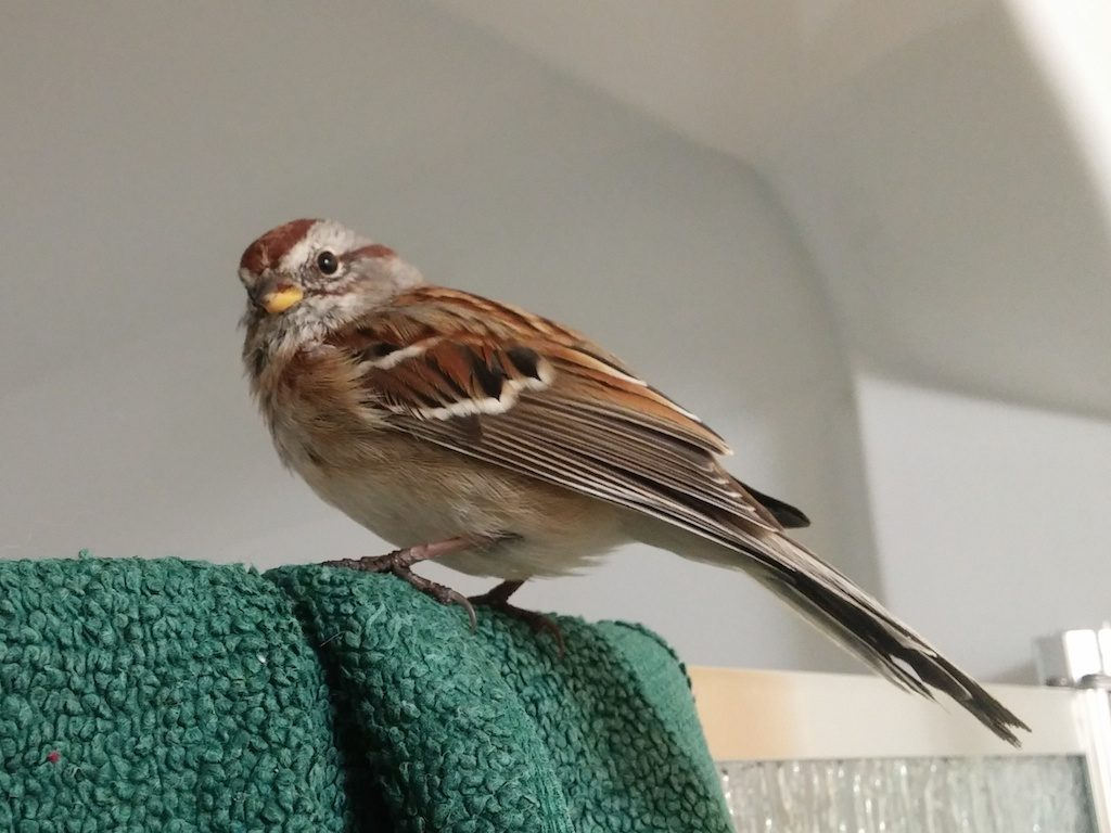 American Tree Sparrow rescue on Nov. 14.
